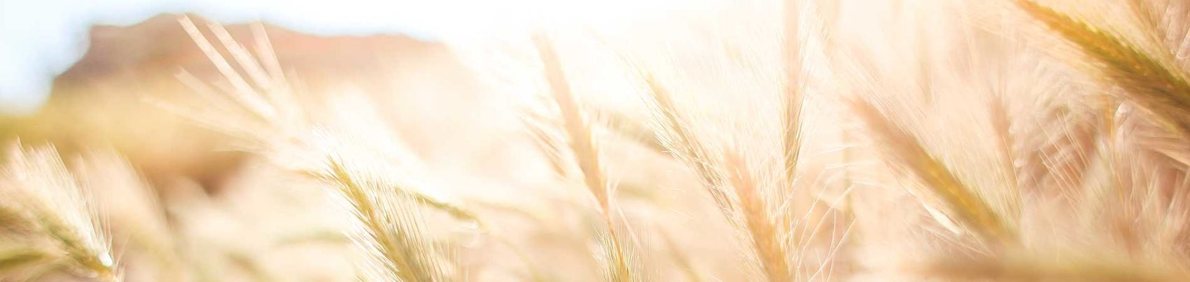 grain field with sunshine